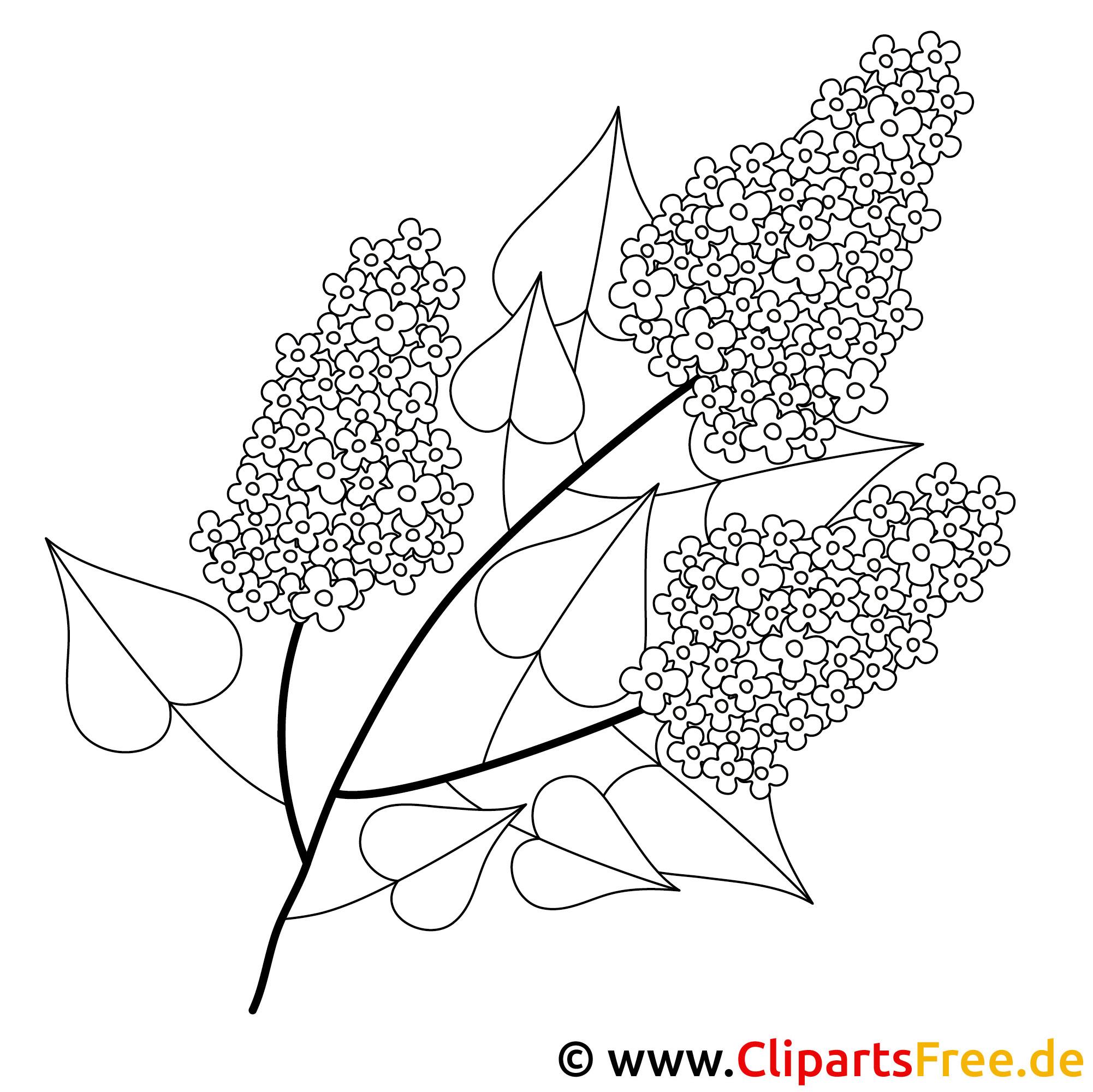 Fliederbusch Ausmalbild - Fruehling Ausmalbilder